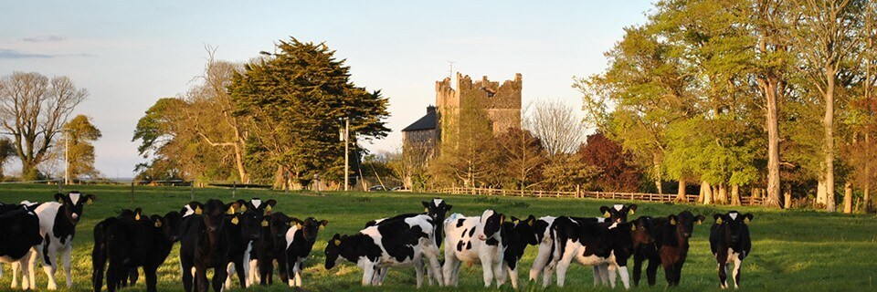 Calves grazing at Killiane Castle