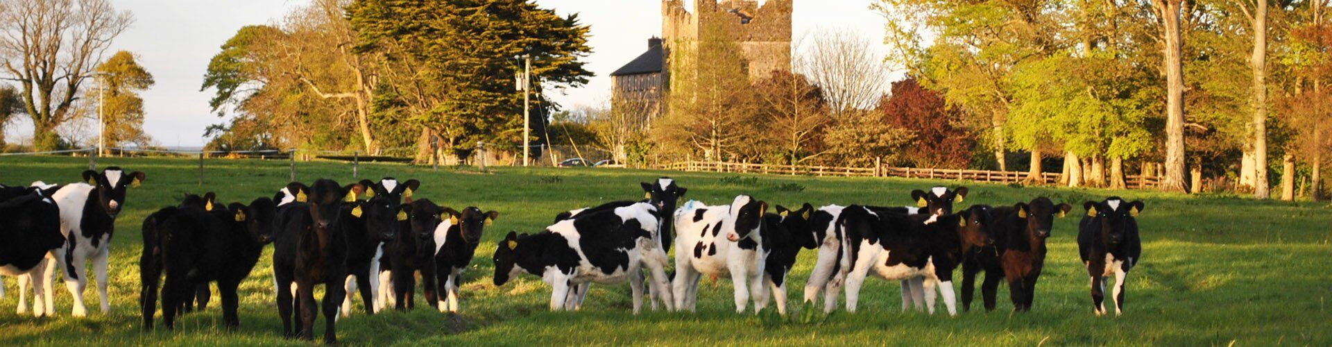 cows grazing afternoon sun wexford